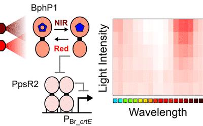 Engineering an E. coli Near-Infrared Light Sensor
