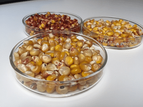 Predicting composition of shelled corn (Zea mays) – A Feasibility Study with the StellarCASE-NIR Near-Infrared Analyzer